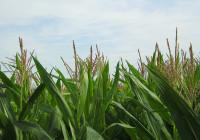 Für Schleiereulen ist das nichts: Ein Maisfeld | Foto: Maja Dumat - CC BY 2.0