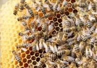 Bienenkönigin © Maja Dumat / pixelio.de