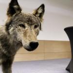 Ein ausgestopfter Wolf.