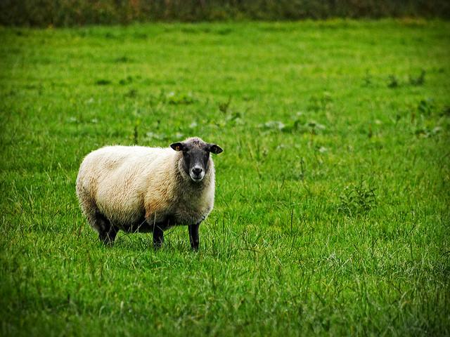 Ein Schaf auf einer grünen, feuchten Wiese.